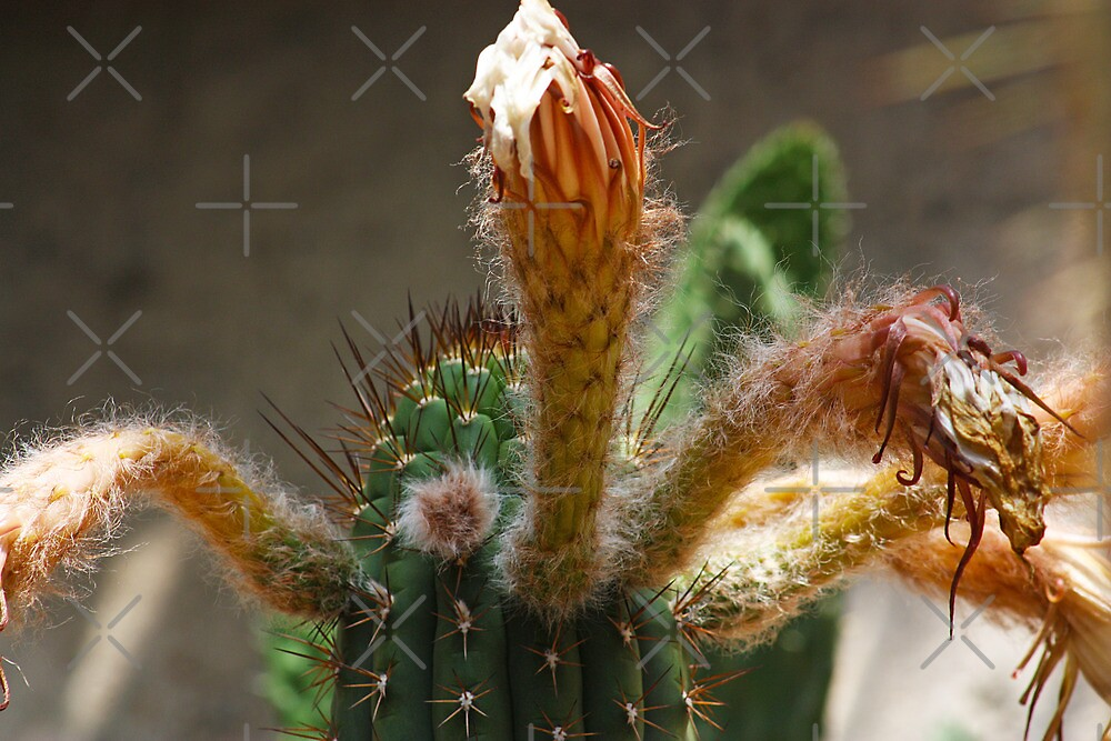 Partially flowered Cactus: Day of The Triffids? by Lawrie McConnell