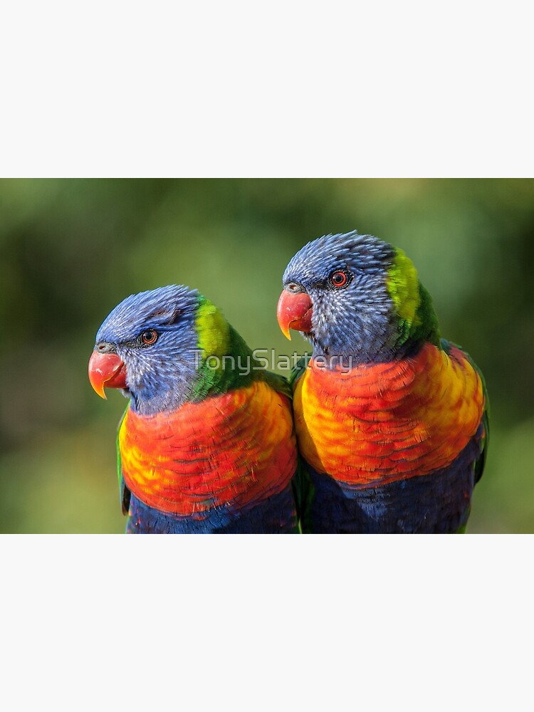 Rainbow Lorikeets by TonySlattery