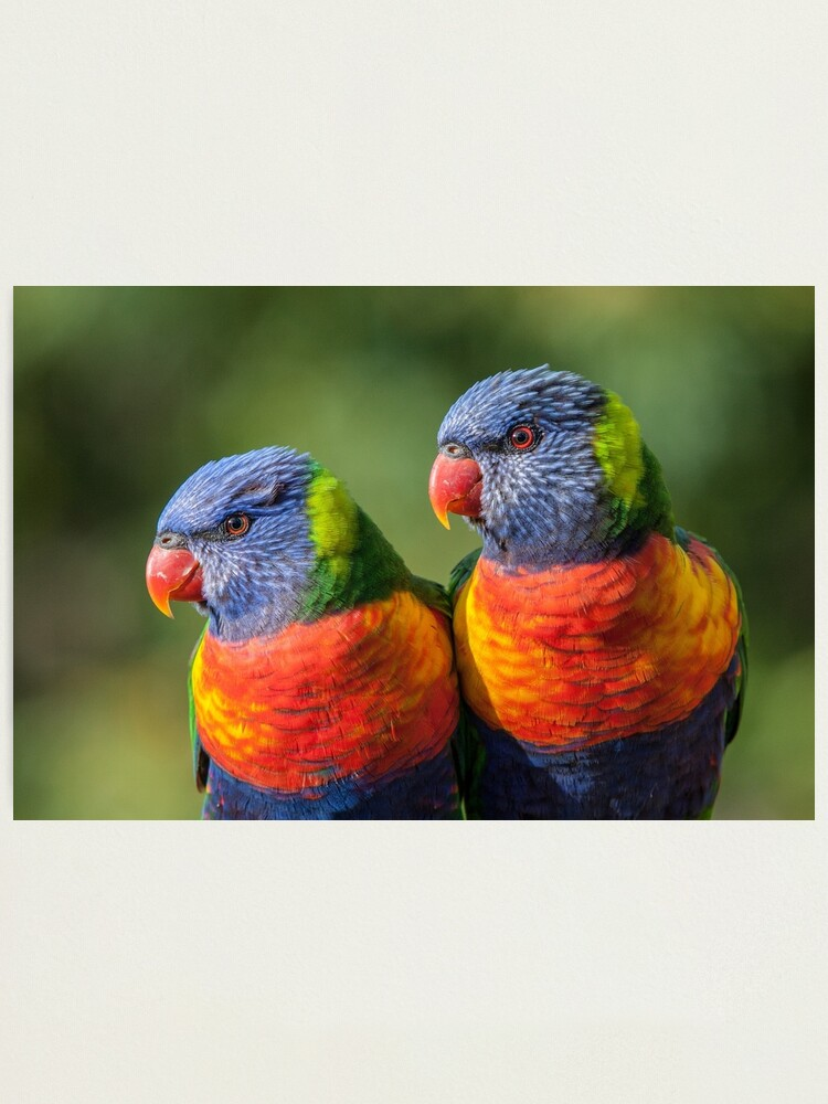 Alternate view of Rainbow Lorikeets Photographic Print