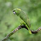 Amazon Parrot by mlorenz