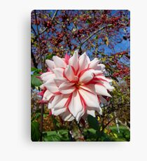 Red and white Dahlia w' crabapples Canvas Print