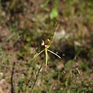 Caladenia / Arachnorchis atrovespa by Colin12