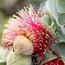 Western Australian wildflower - Mottlecah by LifeImages