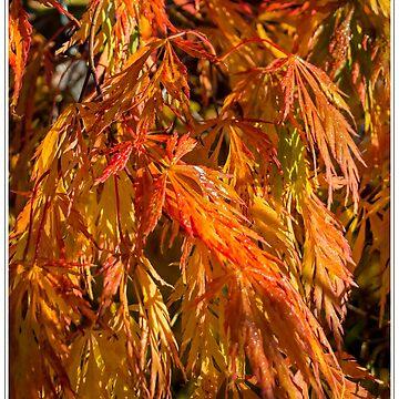 Acer in Autumn by DerekCorner