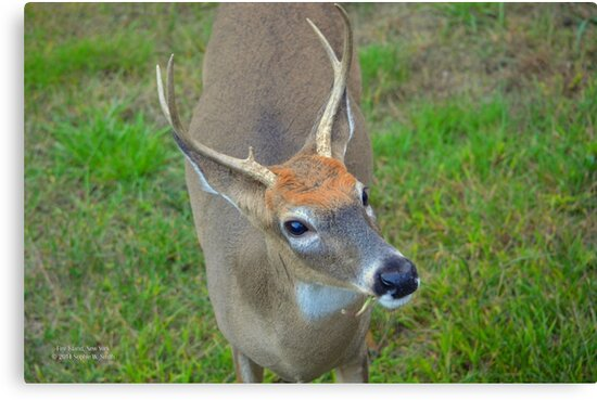 Odocoileus Virginianus - White-Tailed Deer Male Stag | Fire Island, New York by © Sophie W. Smith