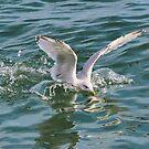 Splashing Gull........Lyme Dorset UK by lynn carter