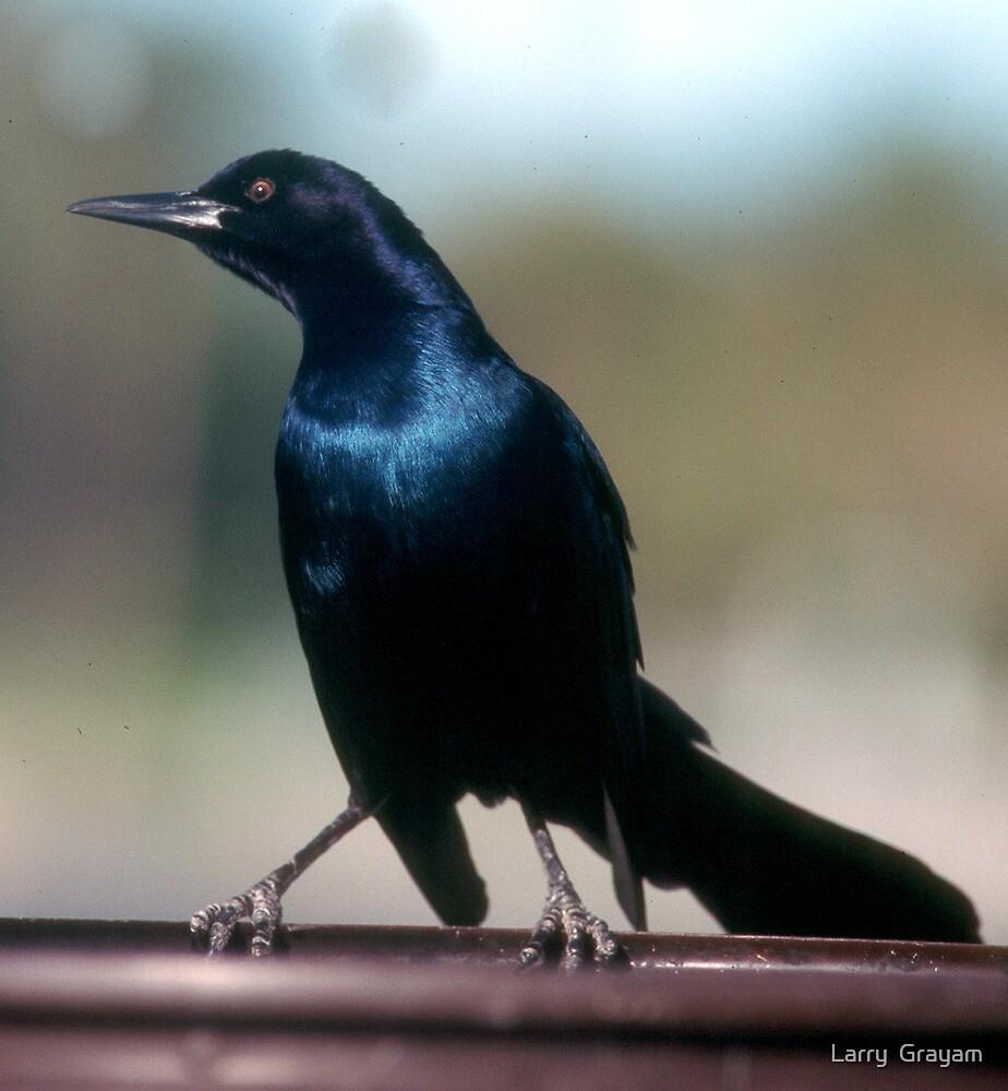 Blackbird by Larry  Grayam