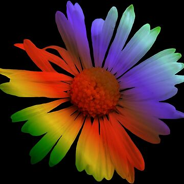 beautiful, colorful marguerite, flower, rainbow by rhnaturestyles