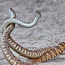 Dancing Rattlesnakes. 2 by Alex Preiss