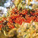 Bright Orange Firethorn or Pyracantha berries by Chris Warham
