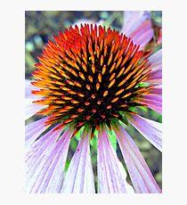 Echinacea Fotodruck