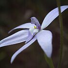 Glossodia major, Waxlip Orchid by Ben Loveday