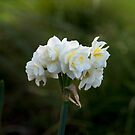 Jonquil by Judy Harland