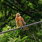 Hawk on The Wire by Rick  Friedle