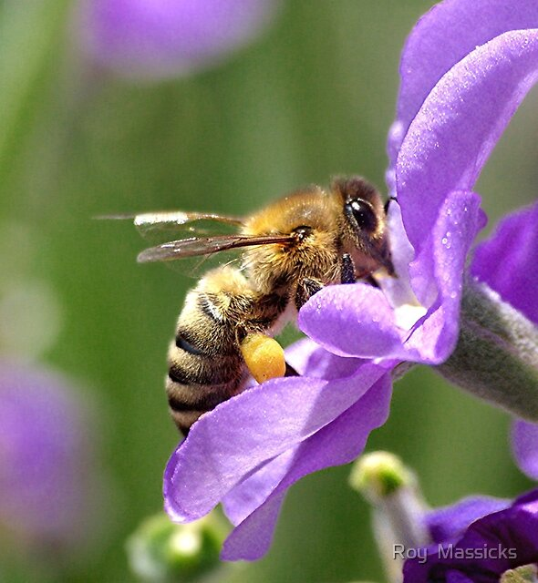 Bee on a Stock flower............!! by Roy  Massicks