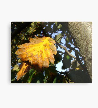 Autumn - yellow leaf close-up, Burntisland Metal Print