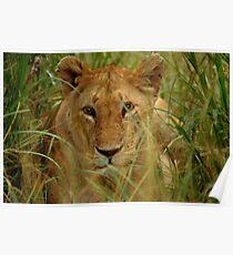 Lioness -Masai Mara Poster