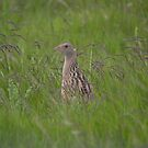 Corncrake - North Uist, Outer Hebrides by citrineblue