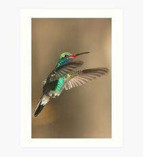 Hummingbird, Broad-billed, male Art Print