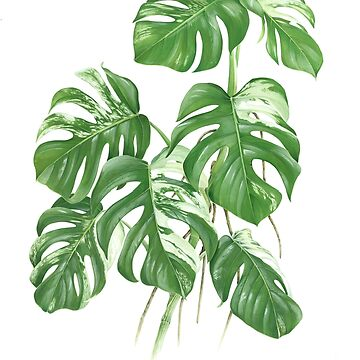 Variegated Monstera Deliciosa - [Indoor Plant Love] by xJLe
