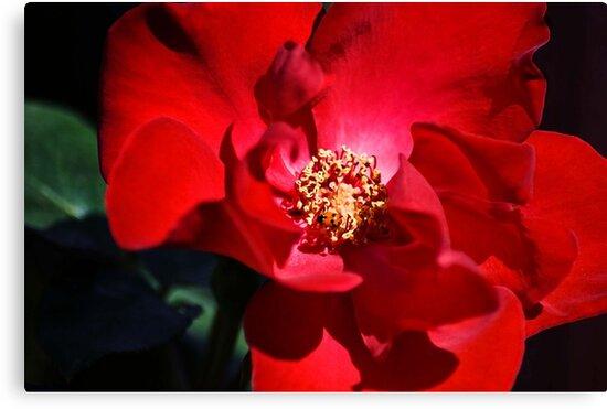 Altissmo Rose by garts