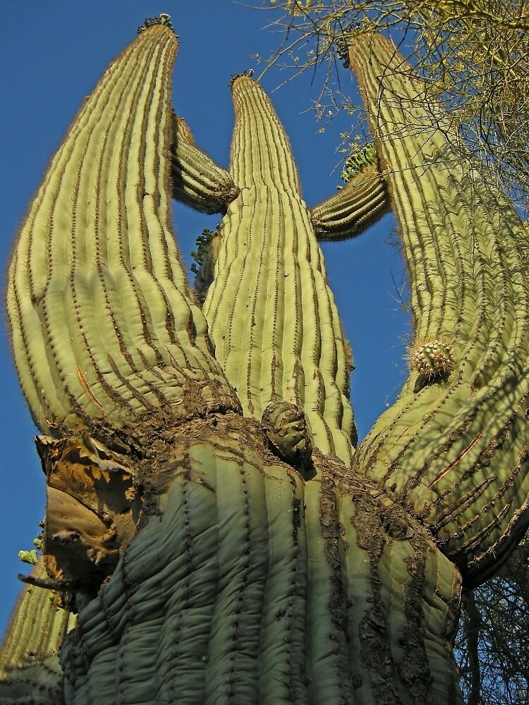 Cactus Morning  by John  Kapusta