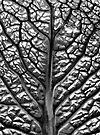 Savoy Cabbage Leaf by George Parapadakis (monocotylidono)