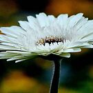 GERBERA IN WHITE - Gerbera in WIT by Magriet Meintjes