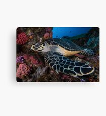 Hawksbill Haven Canvas Print
