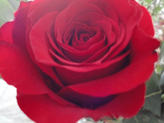 Rose is a rose...  by amak