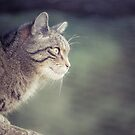 Scottish Wildcat by Cat Burton