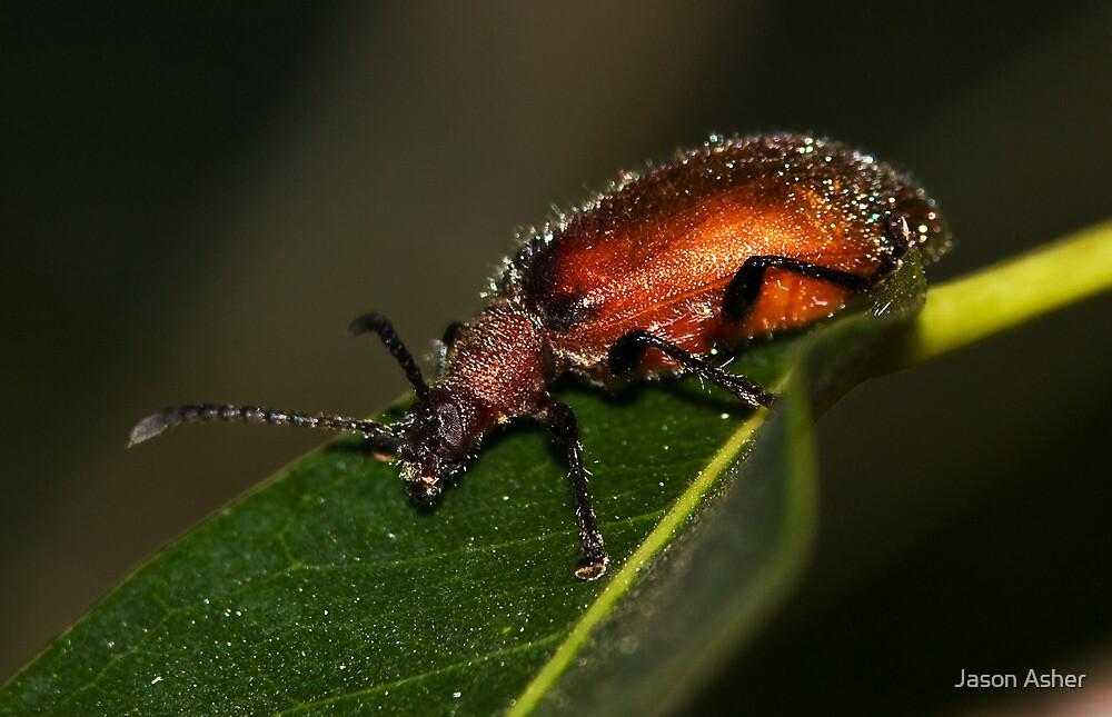 Brown Darkling Beetle by Jason Asher