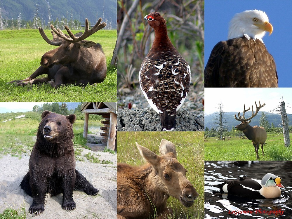 Quot Alaska Wildlife Collage Quot By Akphotogranny Redbubble