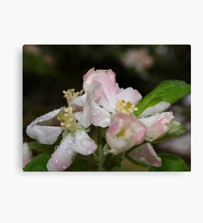 Pink Spring Apple Blossoms Canvas Print