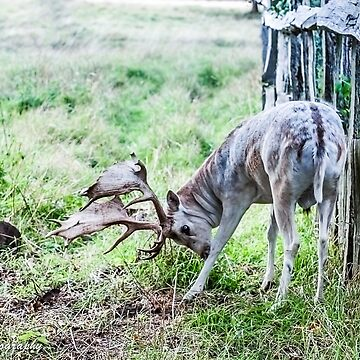 A BEAUTIFUL STAG DEER.. by buddybetsy