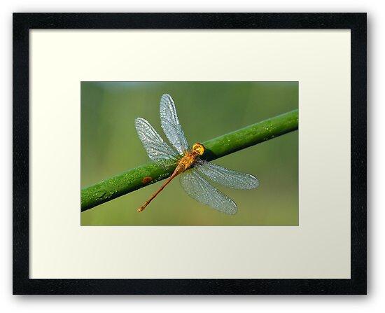 Dragonfly by Nancy Barrett