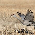 Sandhill Crane 2018-6 by Thomas Young
