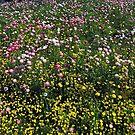 SEA OF FLOWERS, KINGS PARK, PERTH, WESTERN AUSTRALIA by Adrian Paul