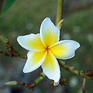 Yellow & White by inglesina