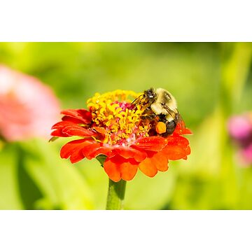 honey bee on orange yellow flower late summer with pollen sacs on legs by FancyFrocks