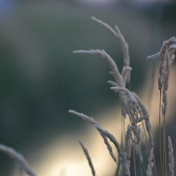 Wheat at sunset by moregoodart