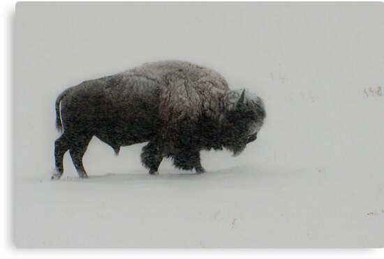 Prairie Bison by peaceofthenorth