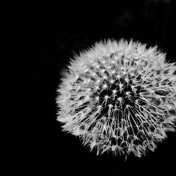 Dandelion by nroulston