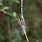 Writing spider, halloween, spider, spider wall art, spider print, spider web by bwatkinsphoto
