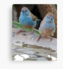 Blou sysies / blue waxbill Canvas Print