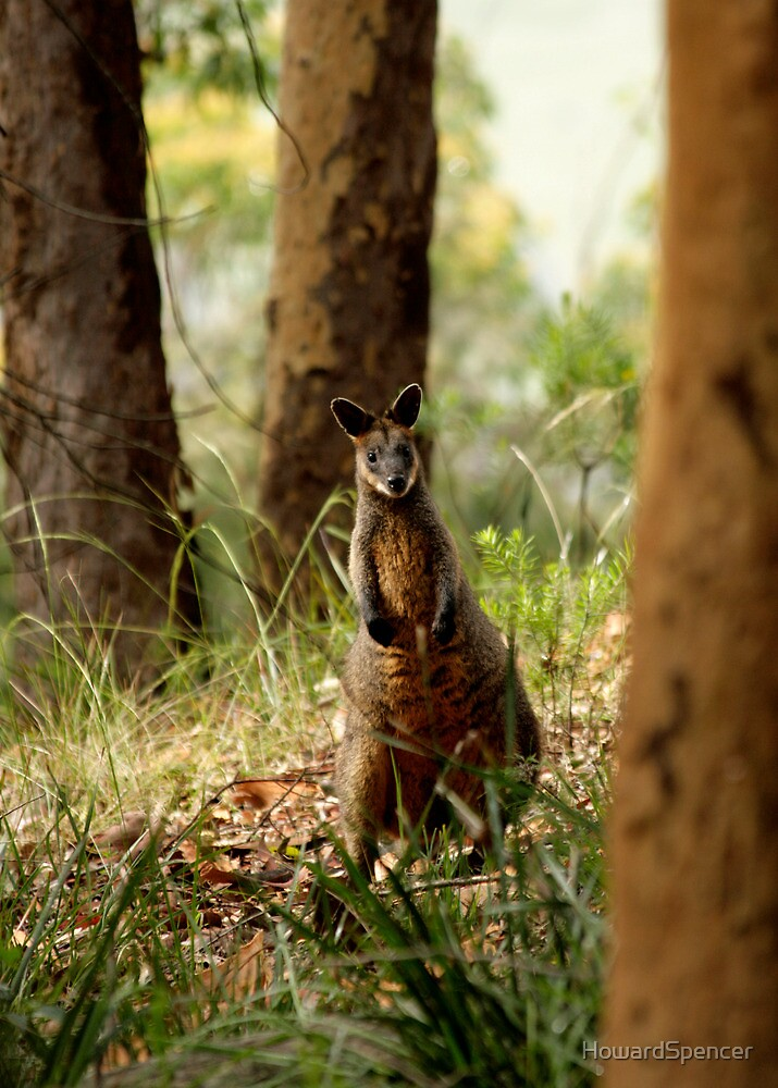 Brush-tailed wallaby by HowardSpencer