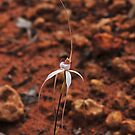 Caladenia longicauda ssp eminens by Colin12