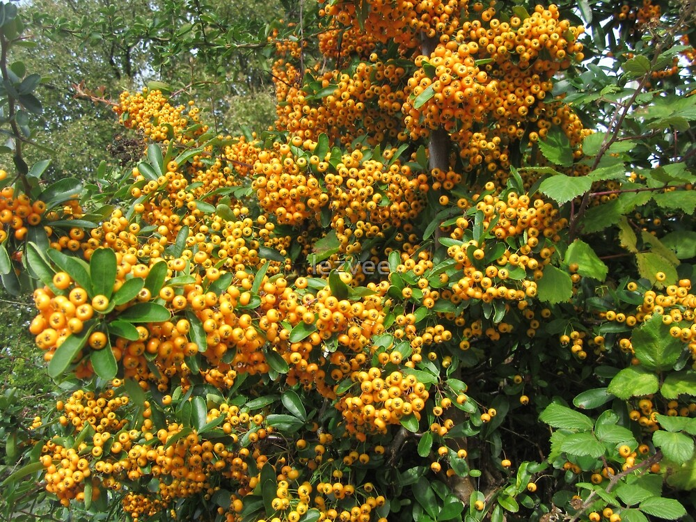 Yellow Pyracantha Berries by lezvee
