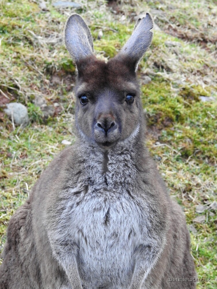 Western Grey Kangaroo by wenniewombat
