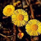 Coltsfoot by Kathleen Daley